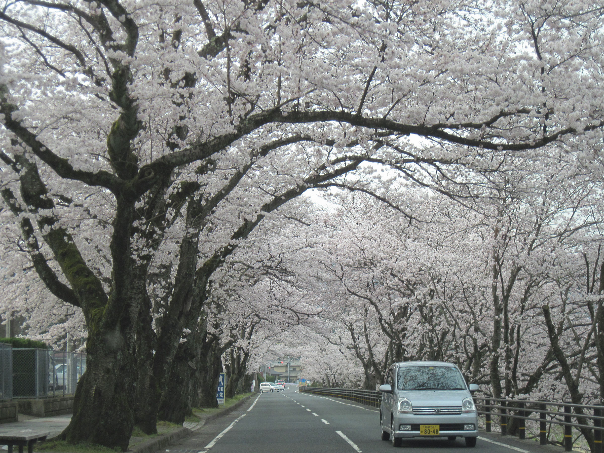 Yoshino Cherry Trees Around And About With Viv