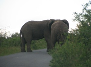 Two elephants block the road for a while