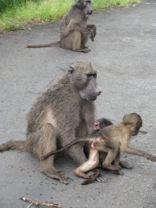 A mother baboon and babies play on the road
