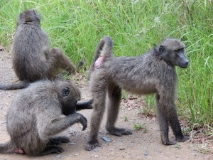 Baboons groom each other at the side of the road