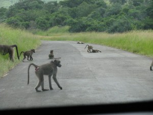 We come round a corner and see more baboons through the front windscreen