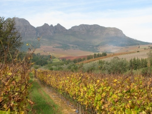 Vines at Bilton Estate in winter
