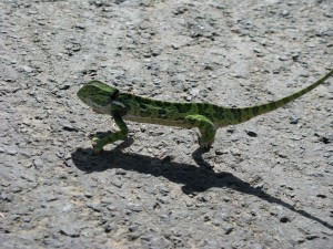 We stop for this small chameleon the cross
