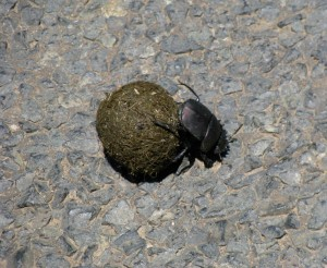 Dung beetles are an active part of the ecosystem---and there's plenty of dung!
