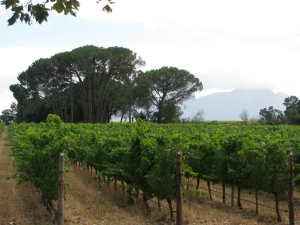 Some of the vines at Blaauwklippen