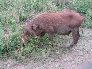 Warthogs are such comical-looking creatures
