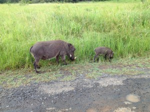 Warthog and baby foraging