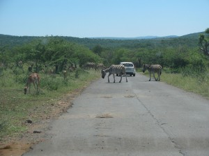 Zebra crossing! The impala already crossed
