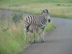Baby zebra suckling