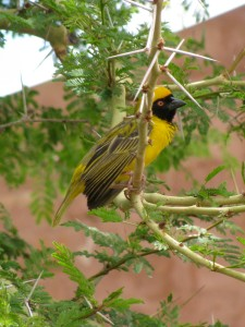 Bright weaver birds flitter and chirp in the open courtyard