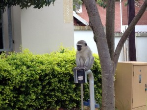 Knock knock! Can I come in? A Vervet Monkey on the entrance call button