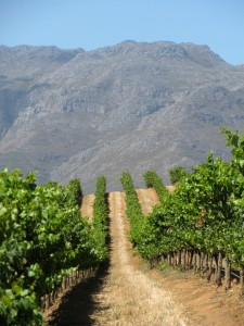 What a view---of vines on a steep slope with the Helderberg behind