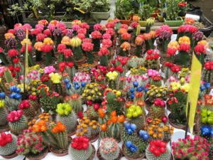 Gorgeous flowering cacti