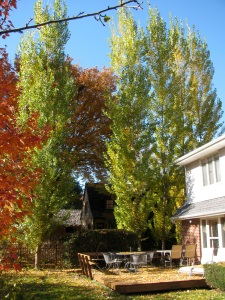 Poplar trees by our deck have hardly started to change color