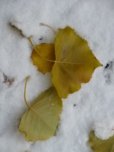 Pretty poplar leaves on the snow on our deck