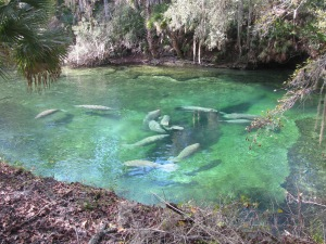 Manatees swim around the spring bubbling up