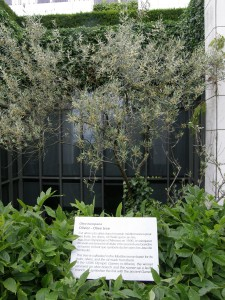 IN a small courtyard is an olive tree---each winner gets an olive branch, symbolizing the link with the ancient Games