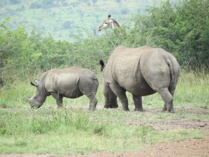 A mother rhino and her baby. Note the giraffe in the background