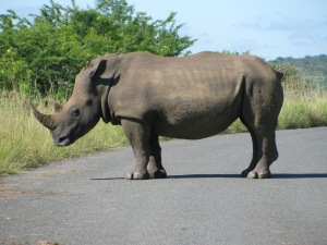 We meet a rhino on the road--like a tank, but that's no protection against sophisticated poachers