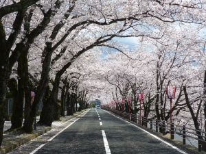 Cherry tree tunnel in full bloom