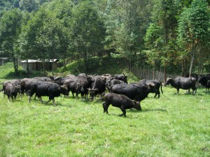 A herd of Gayal cattle