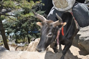 Yak on steep path
