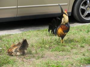 chickensbycar