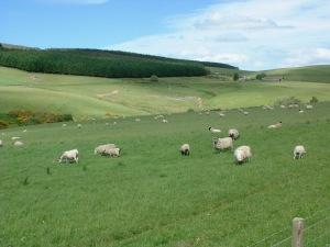 sheepScotland