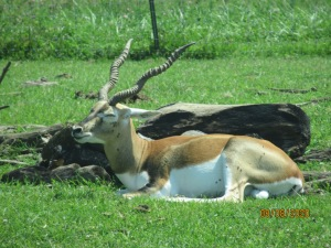 blackbuckantelope