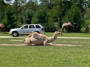 camelscar